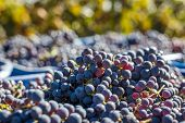 Blue Vine Grapes. Grapes For Making Ice Wine In The Harvesting Crate. Detailed View Of A Frozen Grap poster