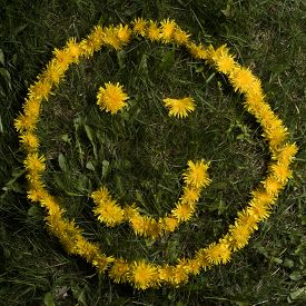 image of smiley face  - A suggestive wink by a smiley face in yellow dandelions - JPG