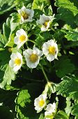 image of groping  - big grope of strawberry flowers on a bush - JPG