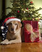 stock photo of christmas dog  - Labrador Dog Wearing a Santa Hat lying by a Christmas Tree - JPG