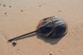 stock photo of oceanography  - Horseshoe crab at the wet sand  beach - JPG