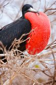 Close up of male magnificent frigatebird with inflated throat pouch