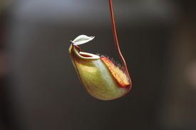 stock photo of nepenthes-mirabilis  - The Tropical pitcher plant in the garden - JPG