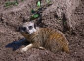 stock photo of 24th  - Meerkat photographed at Chester zoo May 24th 2009 - JPG