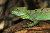 foto of fulcrum  - Portrait young basilisk on the fulcrum of a dry tree - JPG