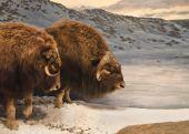 foto of musky  - Three dimensional diorama of two bull muskox on guard against predators - JPG
