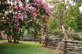 image of crepe myrtle  - Large crepe myrtle growing beside rustic 