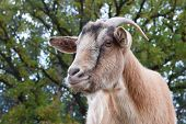 foto of billy goat  - Close up of a curious Billy Goat - JPG