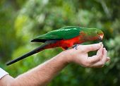 stock photo of king parrot  - Curious Australian King - JPG