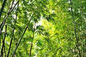 pic of glorious  - bamboo forest with glorious morning sunshine background - JPG
