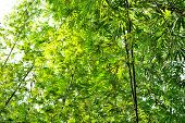 foto of glorious  - bamboo forest with glorious morning sunshine background - JPG