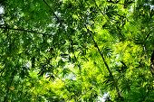 image of glorious  - bamboo forest with glorious morning sunshine background - JPG