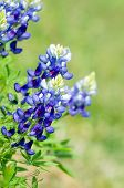 stock photo of bluebonnets  - Texas Bluebonnets (Lupinus texensis) blooming in spring. Closeup natural green background with copy space.