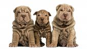 Front view of three Shar Pei puppies sitting, looking at the camera, isolated on white