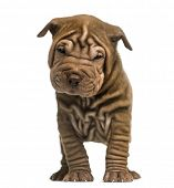 picture of shar-pei puppy  - Front view of a Shar Pei puppy standing - JPG