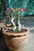 stock photo of desert-rose  - Adenium (Adenium obesum), beautiful tropical flower also known as Desert Rose; Impala Lily; Mock Azalea in terra cotta pots.
