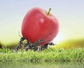 picture of ant  - team of ants carry red apple - JPG
