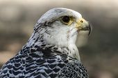 picture of falcons  - carnivore - JPG