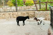 pic of billy goat  - Speckled goat and sheep at the zoo in summer - JPG