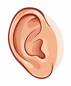 picture of human ear  - Illustration of realistic human ear isolated on white - JPG