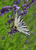 picture of endangered species  - Iphiclides podalirius on lavender  - JPG