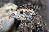 picture of quail  - Brown crested quail closeup portrait image close - JPG