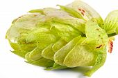 picture of hop-plant  - Plant a Hop or Humulusis isolated on a white background - JPG
