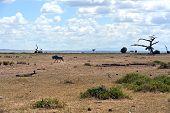 picture of wildebeest  - African wildebeest in Africa Amboseli National Park  - JPG