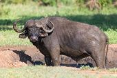 pic of cape buffalo  - Cape buffalo mud play in mud to cool down and protect from insects - JPG