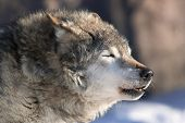 picture of wolf-dog  - An old howling wolf male on cold air - JPG
