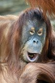 stock photo of face-fungus  - Closeup portrait of a young orangutan female with open chaps - JPG