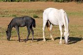 pic of mare foal  - Mare and foal grazing together in pastureland - JPG