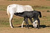 stock photo of colt  - Breastfeeding colt in summertime pasture Foal with a mare on a summer pasture - JPG