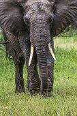 pic of sub-saharan  - African elephant in the Tarangire National Park Tanzania - JPG
