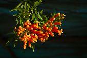 picture of trumpet flower  - Pyrostegia venusta or orange trumpet flowers on dark background - JPG