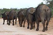 image of female buffalo  - Five large African buffalo walking in single file - JPG