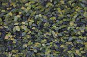stock photo of climber plant  - Green leaf climber on the wall as the background - JPG