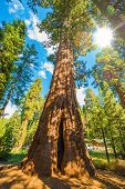image of sequoia-trees  - Sunny Day Between Sequoias - JPG