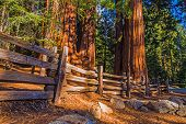 picture of sequoia-trees  - Giant Sequoias Place in Sequoia National Park in California - JPG