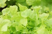 pic of hydroponics  - green oak hydroponics in vegetable garden, close up