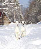 foto of baby goat  - Two white baby goats walking on snow - JPG