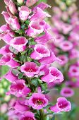 stock photo of digitalis  - foxglove lupine flower in garden on daytime  - JPG