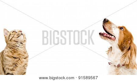 poster of Portrait of a cat Scottish Straight and dog Russian Spaniel