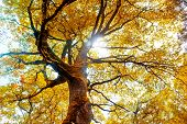 pic of orange-tree  - Beech tree in autumn - JPG