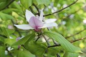 pic of magnolia  - Blossoming of pink magnolia flowers in spring time - JPG
