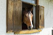 pic of brown horse  - the head of a brown horse in the window - JPG