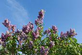 pic of lilac bush  - bush blossoming lilac against the blue sky - JPG