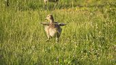 stock photo of baby goose  - Baby Canada Goose Gosling Dancing in Grass. Sunshine.
