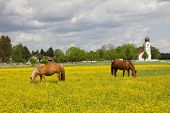 stock photo of buttercup  - grazing horses in buttercups idyllic landscape with church - JPG