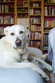 picture of sleepy  - closeup of a sleepy Spanish Mastiff indoor with library on background - JPG